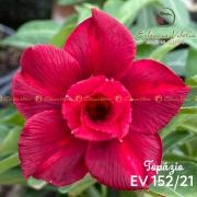 Muda de Rosa do Deserto Topázio EV-15221