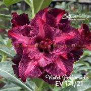 Muda de Rosa do Deserto Violet Perfumada EV-17121