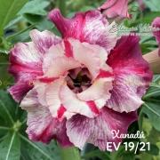 Muda de Rosa do Deserto Xanadu EV-01921