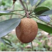 Muda de Sapoti feita de semente - FC