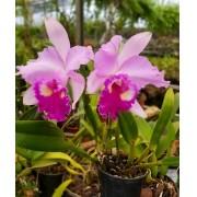 Orquídea Blc Chyong Guu Chaffinch x Blc Gorgeous Gold Pokai PL-6623