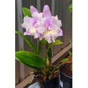 Orquídea C. Ruth Gee x C. intermedia aquinii coerulea PL-7070