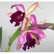 Orquídea (L purpurata Estriata Itapeva x Flamea escura) x Lc. Drumbeat Triumph PL-6685