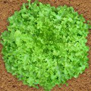 Sementes de Alface Mimosa Salad Bowl 500mg - TSV Sementes Linha Quintal