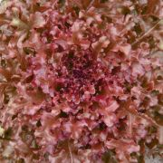 Sementes de Alface Mimosa Salad Bowl Roxa 500mg - TSV Sementes Linha Quintal