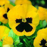 Sementes de Amor Perfeito Gigante Amarelo 120mg - TSV Sementes Linha Jardim