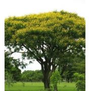 Sementes de Canafístula Branca Faveira 1g - Isla Árvores Nativas