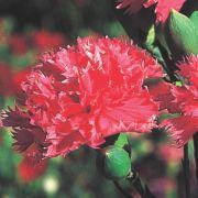 Sementes de Cravo Rosa 170mg - TSV Sementes Linha Jardim
