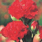 Sementes de Cravo Vermelho 170mg - TSV Sementes Linha Jardim