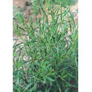 Sementes de Estragão Russo / Artemisia - Isla Multi