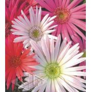 Sementes de Gérbera Sortida Importadas Envelope com 50 sementes (181mg) - Isla Pro