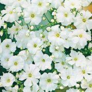 Sementes de Gypsophila Branco 250mg - TSV Sementes Linha Jardim