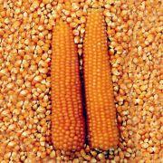 Sementes de Milho de Pipoca 1g - TSV Sementes Linha Quintal