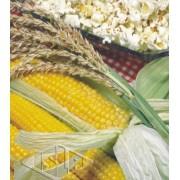 Sementes de Milho Pipoca Americano 10g - Isla Superpak