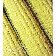 Sementes de Milho Verde Híbrido Itapuã 700 - Isla Superpak