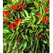 Sementes de Pimenta IS 964 Etna Ornamental 100mg - Isla Multi