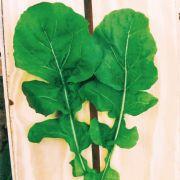 Sementes de Rúcula Cultivada 1g - TSV Sementes Linha Quintal