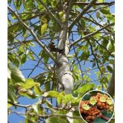 Sementes de Saguaraji Sobrasil 250mg - Isla Árvores Nativas