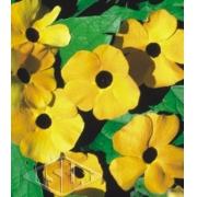 Sementes de Thumbergia Trepadeira Amarelinha 300mg - Isla Superpak
