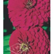 Sementes de Zinnia Gigante da Califórnia Rosa envelope com 1g - Isla Pro