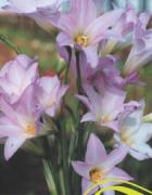 Zephyranthus Robustus Lilás (Lírio do Vento) - cartela com 8 bulbos