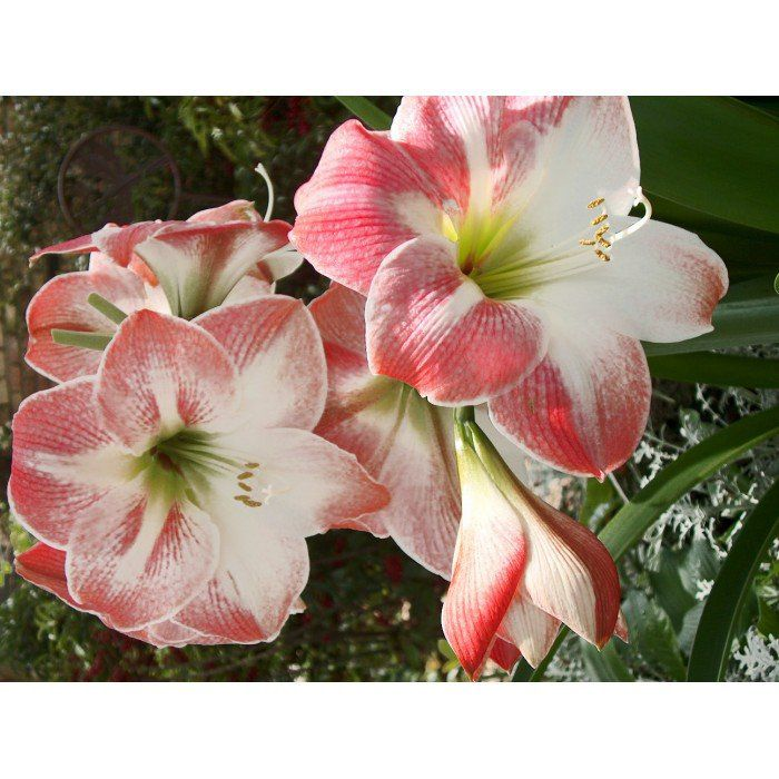 Amaryllis Apple Blossum rosa - cartela com 1 bulbo