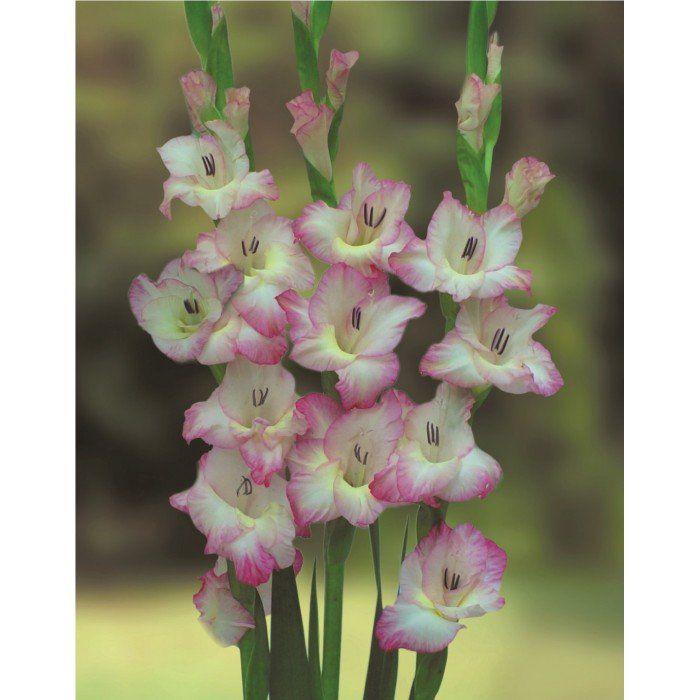 Gladiolos Priscila - cartela com 6 bulbos
