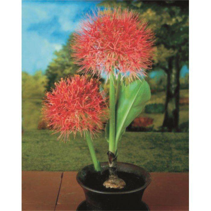 Haemanthus - Flor de Natal - cartela com 1 bulbo