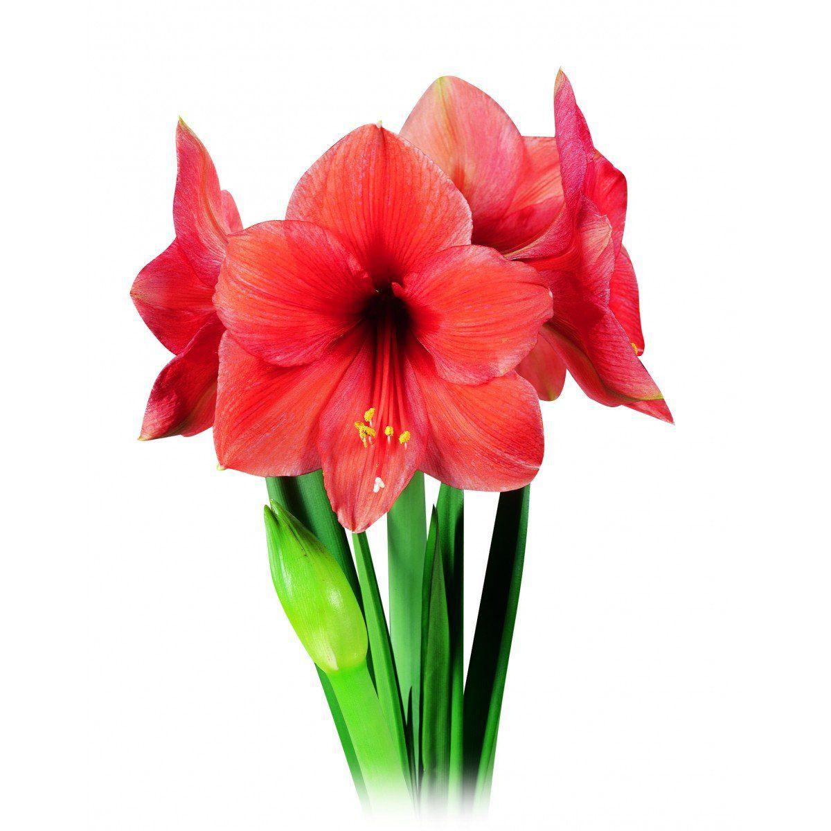 Amaryllis Desire Laranja - cartela com 1 bulbo