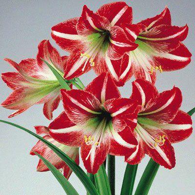 Amaryllis Minerva (Vermelho/Branco) - cartela com 1 bulbo