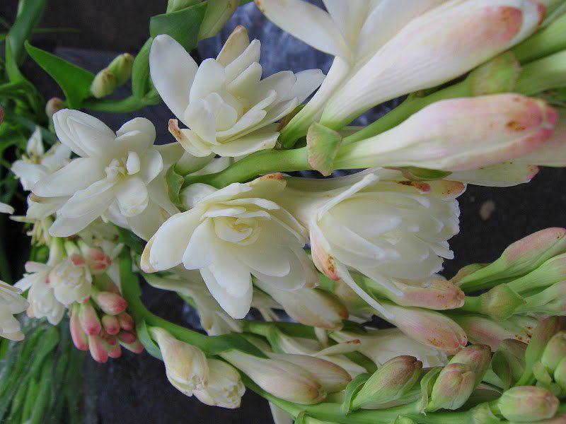 Angélica - Polyanthus Tuberosa - cartela com 6 bulbos