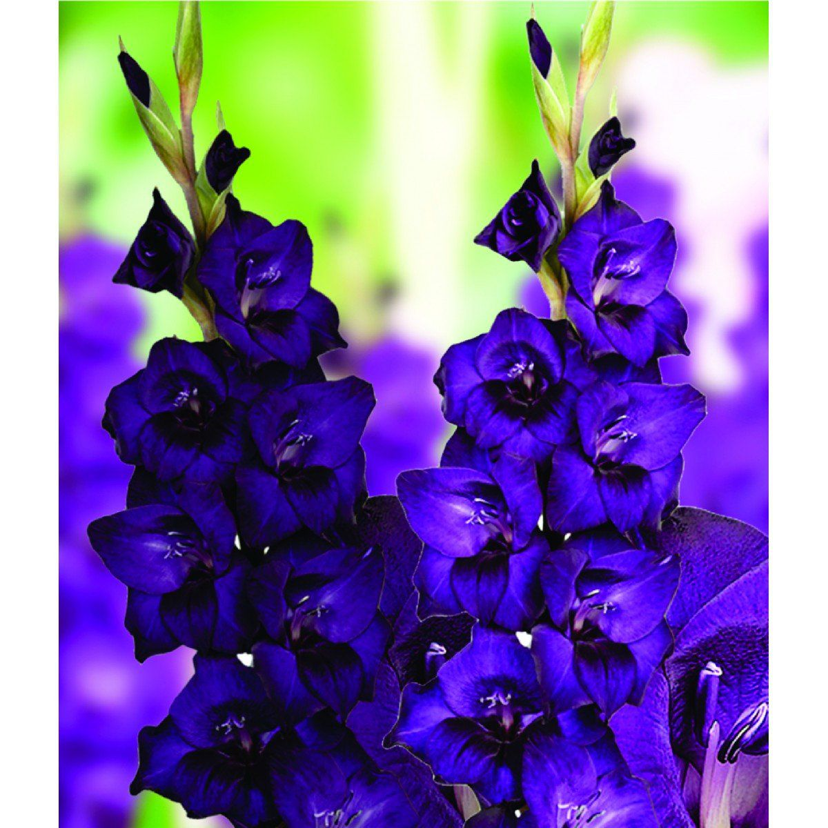 Gladíolos Purple Flora (Púrpura) - cartela com 6 bulbos