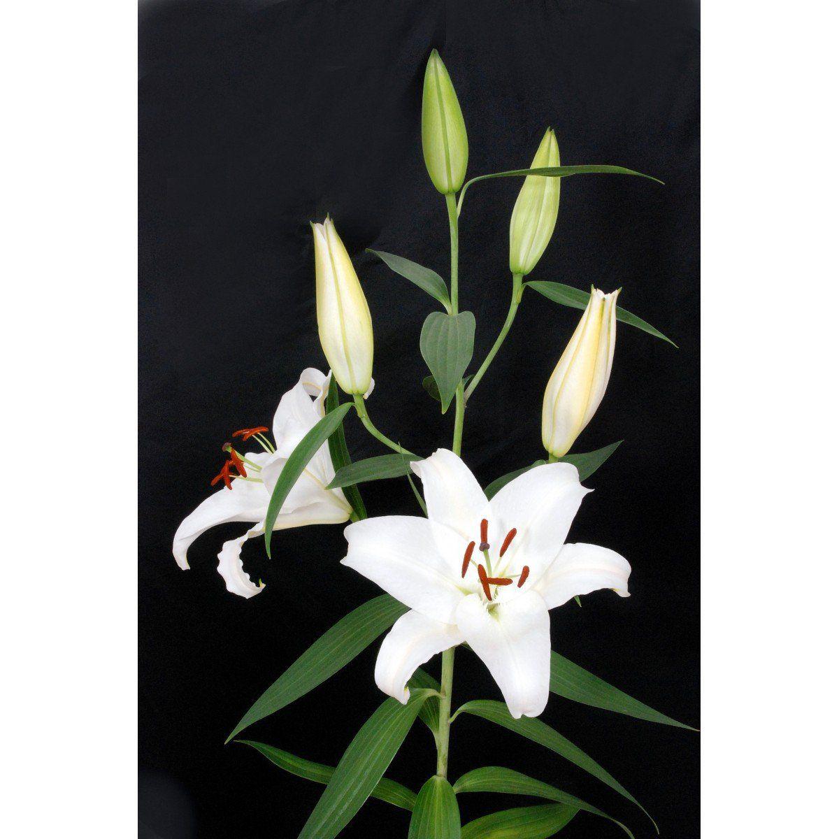 Lírio Asiático Navona Branco - cartela com 2 bulbos