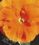 Sementes de Amor Perfeito Gigante Laranja Suíço 80mg - Isla Multi