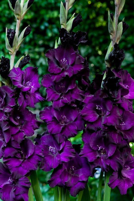 Gladíolos Black Velvet Púrpura - cartela com 6 bulbos