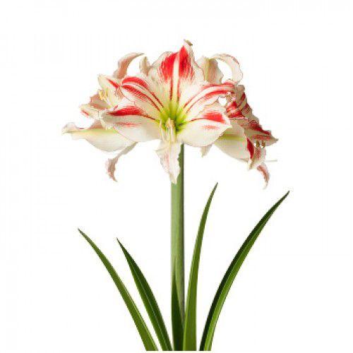 Amaryllis Amorice Branco com Vermelho - cartela com 1 bulbo