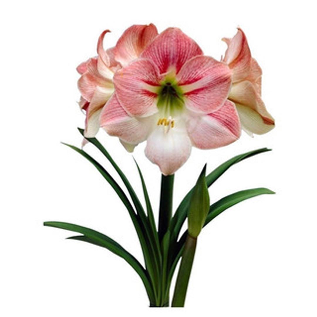 Amaryllis Blossom Bingo (Rosa e Branco) - cartela com 01 bulbo