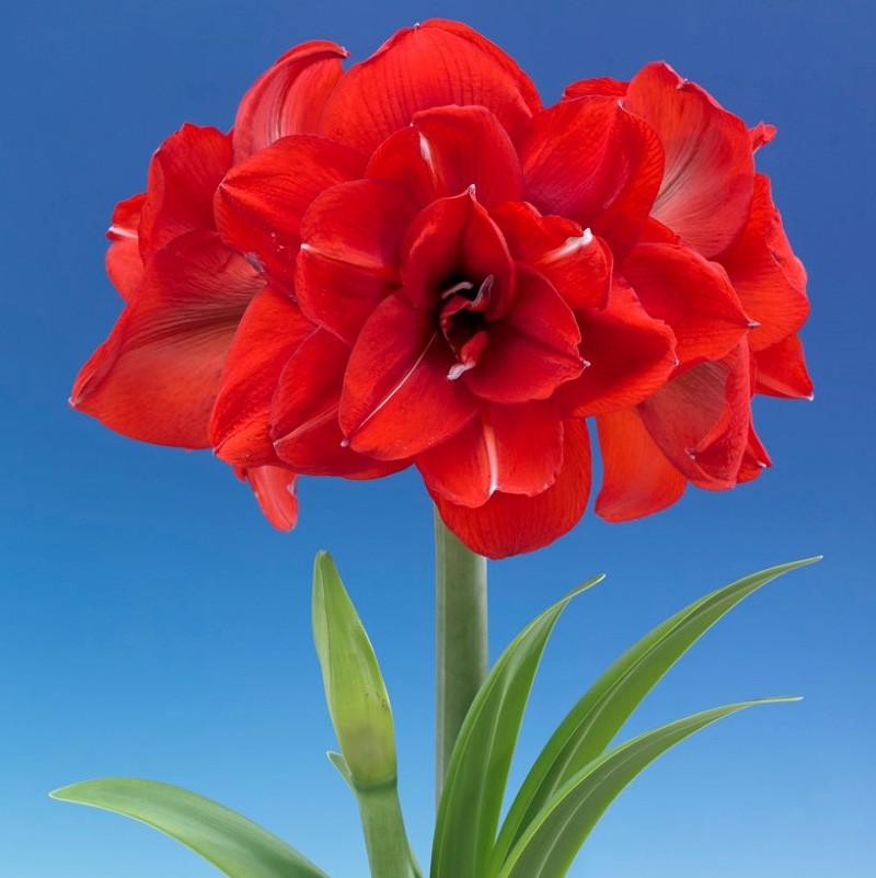 Amaryllis Double King Vermelha - cartela com 1 bulbo