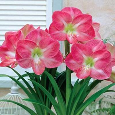 Amaryllis Pink Impression - cartela com 1 bulbo
