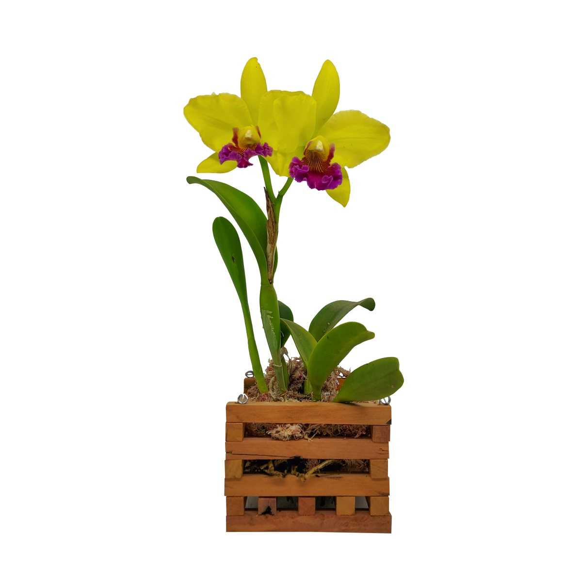 Cachepô para Orquídea Quadrado 11cm x 15cm em Madeira Peroba de Demolição