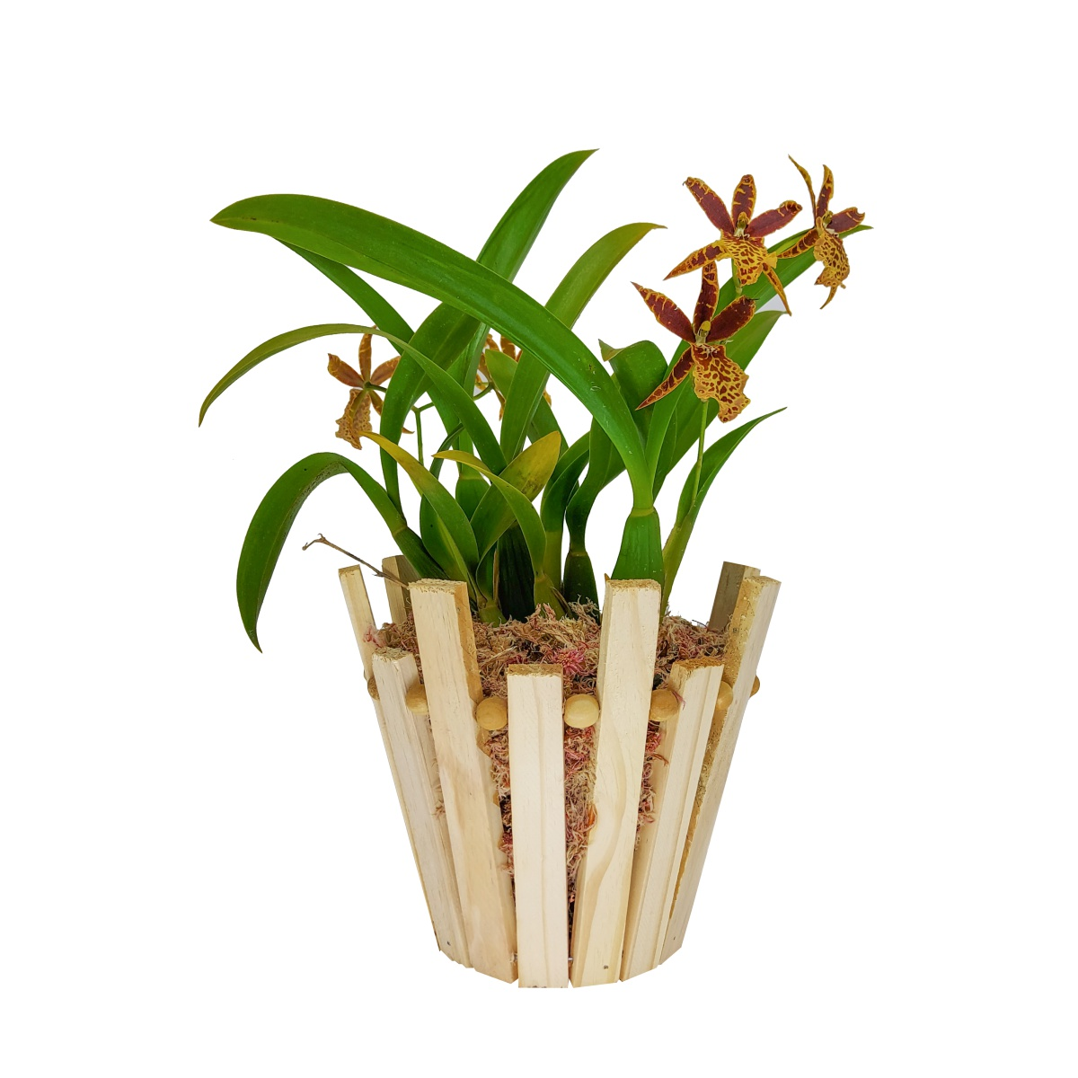 Cachepô para Orquídea Redondo 18cm x 14,5cm em madeira Pinus