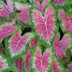 Caladium Pink Beauty Verde/Branco/Rosa - cartela com 1 bulbo