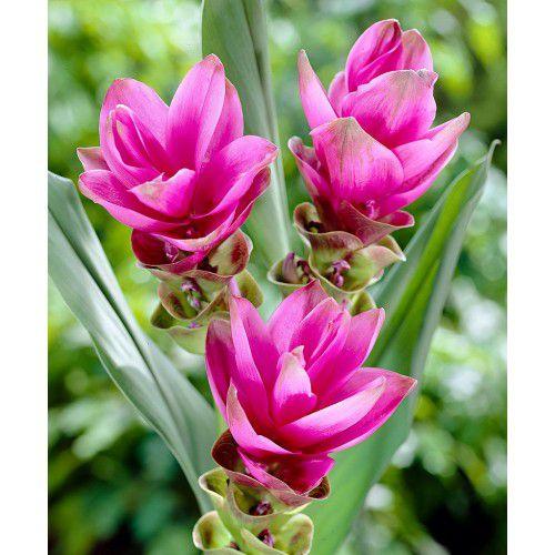 Curcuma Solo Pink - cartela com 01 bulbo