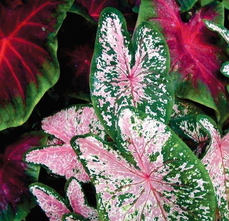 Caladium Bicolor Verde, Branco e Rosa - cartela com 01 bulbo