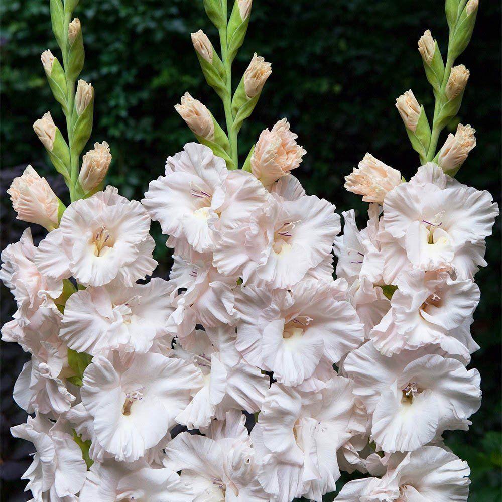 Gladiolos Marsh Frizzle Branco - cartela com 6 bulbos