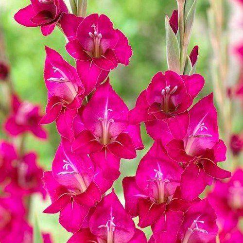 Gladiolos Silvana cor pink - cartela com 5 bulbos