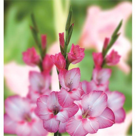 Gladíolos Verônica Rosa - cartela com 6 bulbos