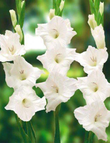 Gladíolos White Goddes Branco - cartela com 6 bulbos