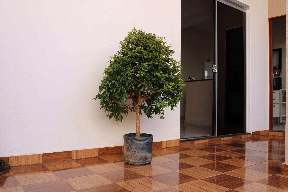 Jabuticabeira produzindo 10 anos Hibrida e Curada em vaso