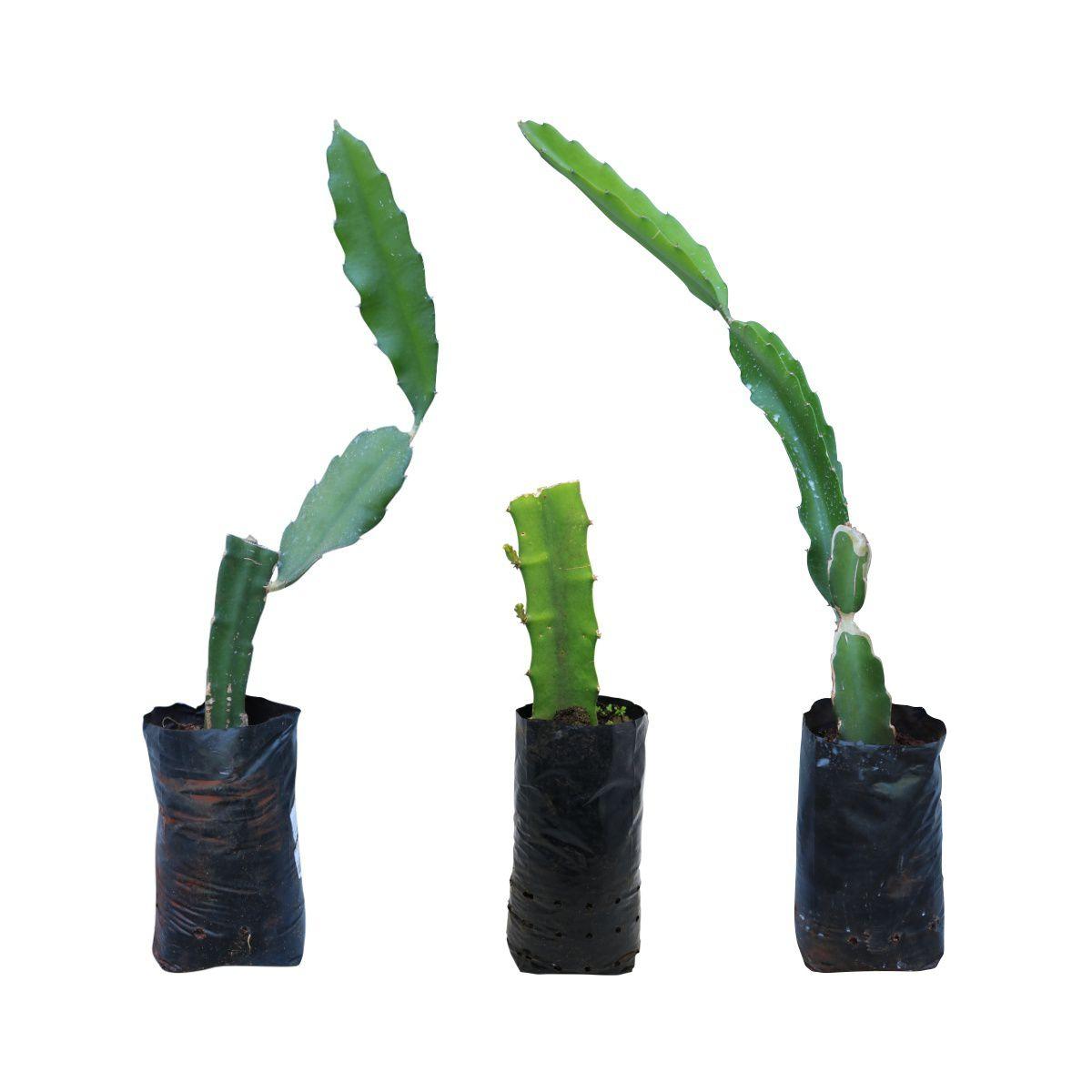 Kit com 3 mudas de Pitaya sortidas feitas de estaca